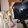 Shami Comfort Dog taking the driver's seat