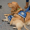Comfort Dog Luther taking care of puppy in training Isaiah