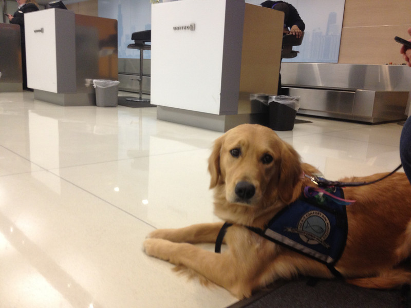 Ruthie waiting patiently to board (United Airlines)