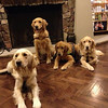 K-9 Comfort Dogs Moses, Hannah, Barnabas and Shami have arrived in Centennial, Colorado
