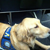 K-9 Comfort Dog Shami had lots of room on the United Airlines flight from Chicago to Denver! She is a natural when flying!