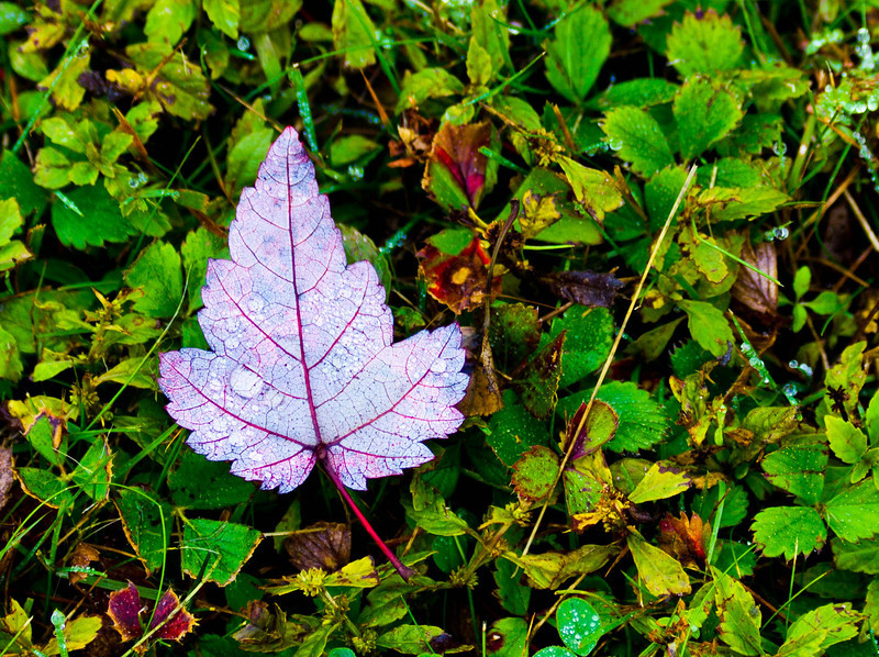 Victorious Leaf
