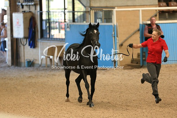 Arabian Geldings - Classes 10 - 12