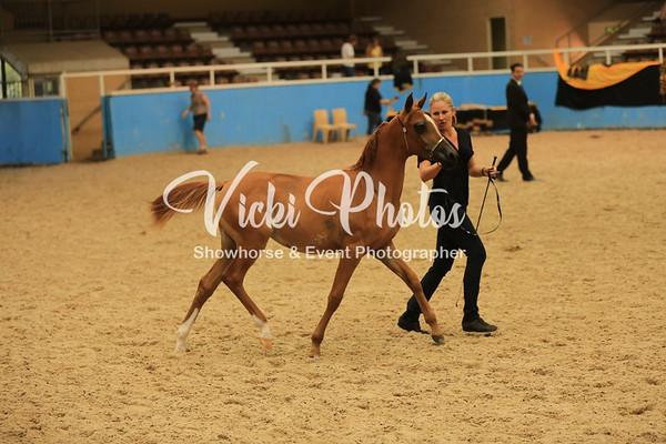 2013 West Australian Arabian Championships.