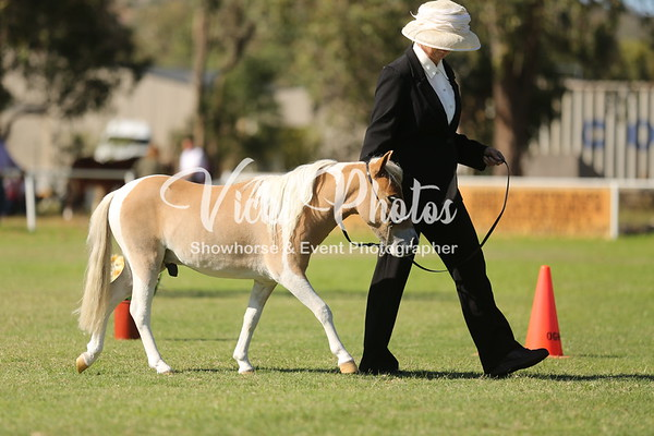 Miniature Horse and Pony