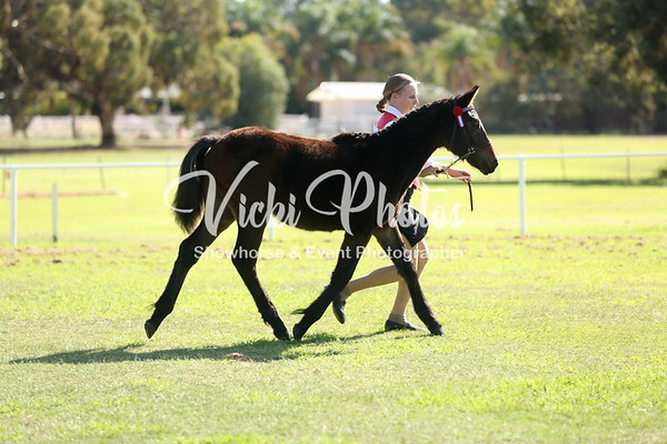 Partbred APSB and Native Pony Breeds