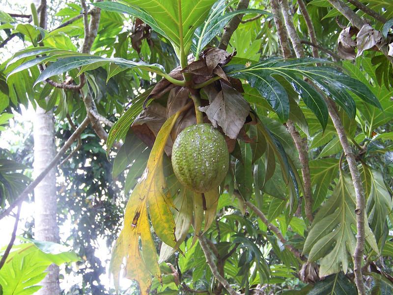 1010 - Tour of Spice Plantation - Banna Tree - Zanzibar - Tanzania.JPG