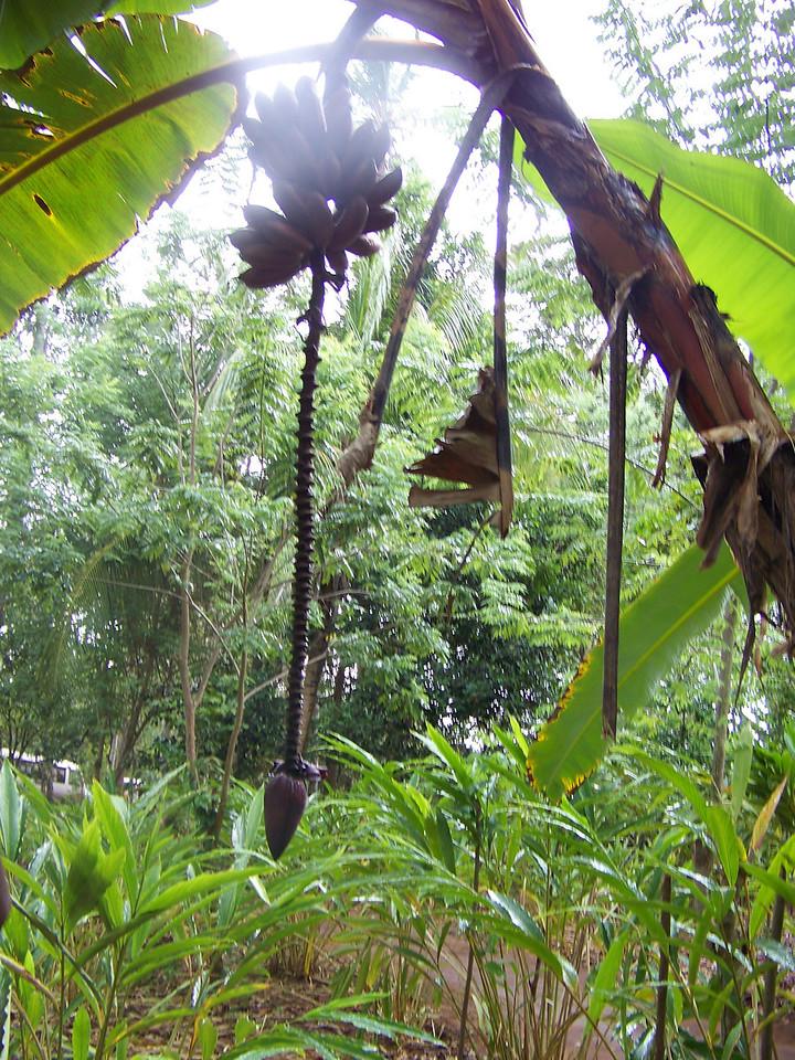 1007 - Tour of Spice Plantation - Banna Tree - Zanzibar - Tanzania.JPG