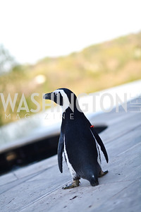 African Black-footed Penguin. Photo by Tony Powell. Kimsey National Zoo Dinner. Kimsey residence. April 17, 2013
