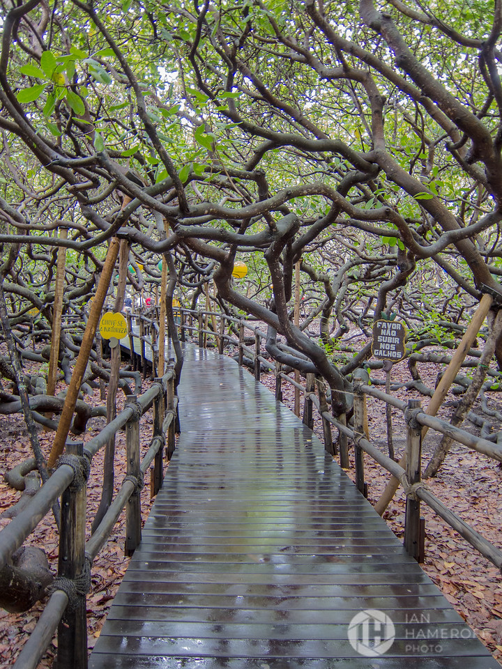 Walking Through the World's Largest Cashew Tree