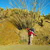 Big ocotillo