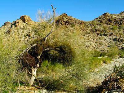 Palo verde tree burdened with desert mistletoe