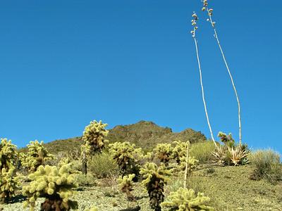 Desert agave stalks
