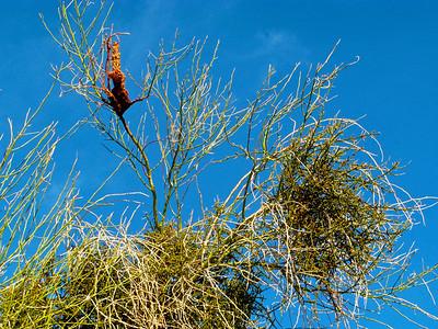 Phanopepla perch and desert mistletoe