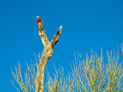 Phanopepla perch at top of tree