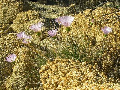 Mojave aster