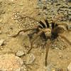 Male tarantula