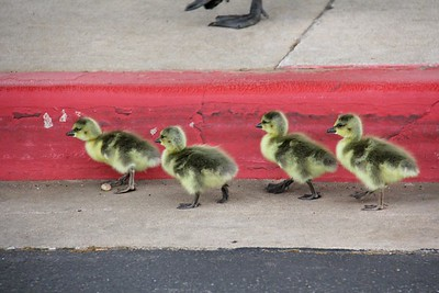 Holland Hall Goslings