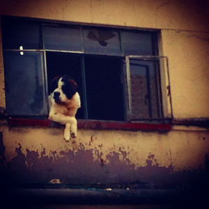 Dog from window watching above our seafood tostada place