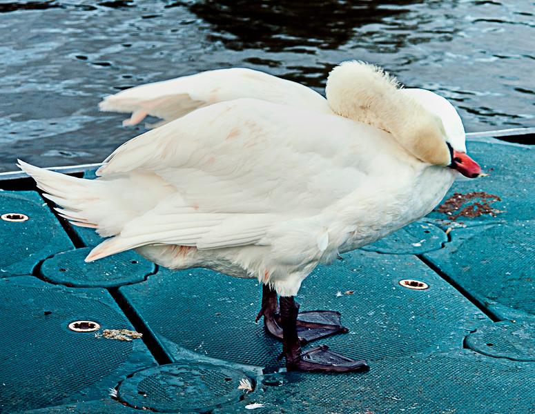 Swans have extraordinarily flexible necks.