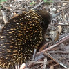 An echidna near CP33. <br /> <br /> Photo from Stephen Goggs, team 24