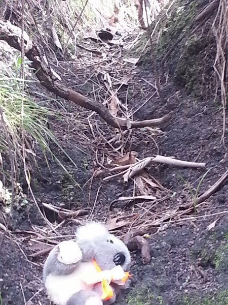 Barkley exploring a wombat hole. <br /> <br /> (Photo: Geoff Dibley)