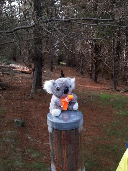 Barkley in Kowen Pine Forest.<br /> <br /> Photo: Geoff Dibley