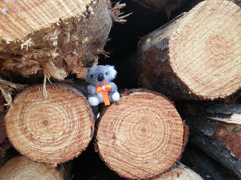 Barkley checking out the newly cut logs in Kowen Forest.<br /> <br /> Photo: Geoff Dibley