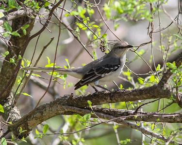 Northern Mockingbird @ Santa Ana WA, TX - Feb 2014