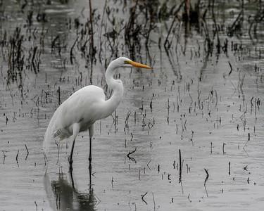 Great Egret @ Santa Ana NWR, TX - Feb 2014