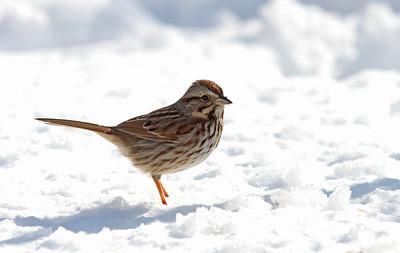 Song Sparrow @ Home - Feb 2014