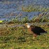 Bald Eagle -  March 2014