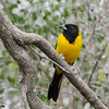 Audubon's Oriole @ Salineno, TX - Feb 2014