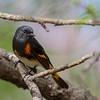 American Redstart (Warbler) @ Magee Marsh - May 2014