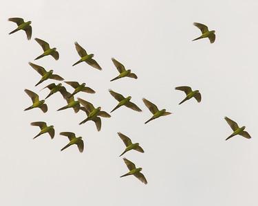 Green Parakeet @ McAllen, TX - Feb 2014