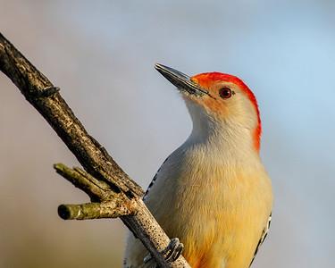 Red-bellied Woodpecker @ Home - Feb 2014