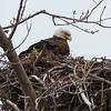 Bald Eagle @ Magee Marsh - May 2014