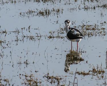 Black-necked Stilt @ Santa Ana WA, TX - Feb 2014