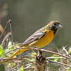 Baltimore Oriole @ Magee Marsh - May 2014