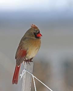 Northern Cardinal @ Home - Feb 2014