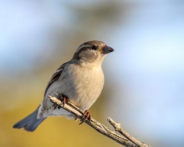 House Sparrow @ Home - Feb 2014