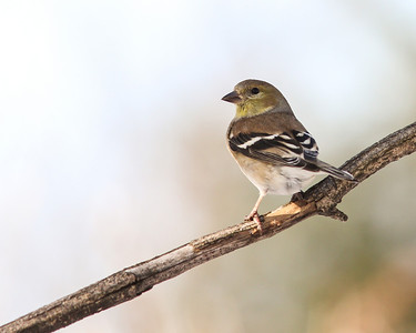 American Goldfinch @ Home - Feb 2014