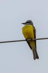 Couch's Kingbird @ Falcon State Park, Texas - Feb 2014