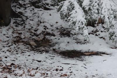 Cardinals in Snow 112614