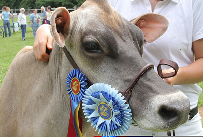 IMG_1930 JPG violet the cow owned by jenna rice of harltand, won the Fitting and Showing championshp