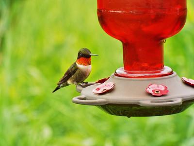 CarolGeise male ruby throated hummingbird