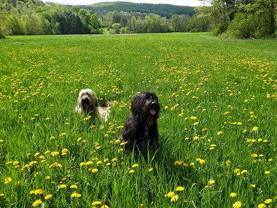 """Photo by Mark Curran, South Woodstock  """"Fleurie and Breezy Catching their Breath among Dandelions at Upway Farm"""