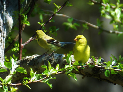 CarolGeise2 female American Goldfinches in the apple tree