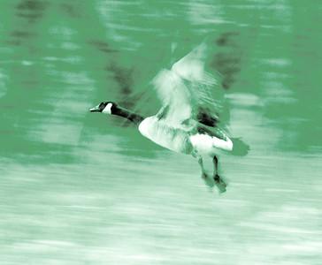 Jack Greene - Labounty Road bird in Pomfret