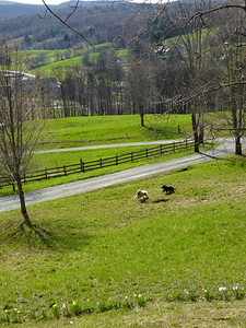 """Photo by Mark Curran, South Woodstock VT   """"The Joy of Spring Dandelions and Dogs Frolic in South Woodstock"""